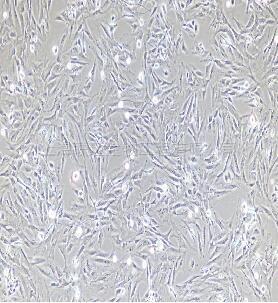 小鼠前列腺成纤维细胞
