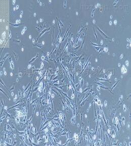 小鼠结肠成纤维细胞