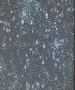小鼠肺成纤维细胞
