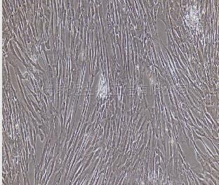兔胸腺成纤维细胞