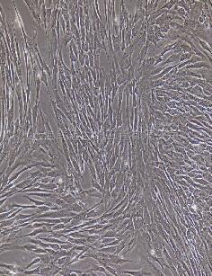 兔成骨细胞