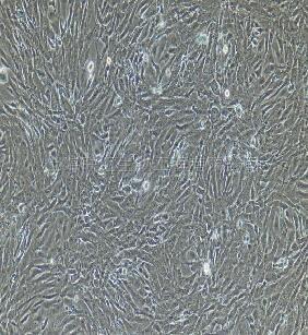 兔脂肪微血管内皮细胞