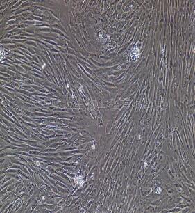 羊主动脉平滑肌细胞