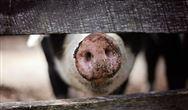 全面禁止餐厨剩余物饲喂生猪,无害化处置才是最终出路